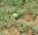 growing watermelon in fields